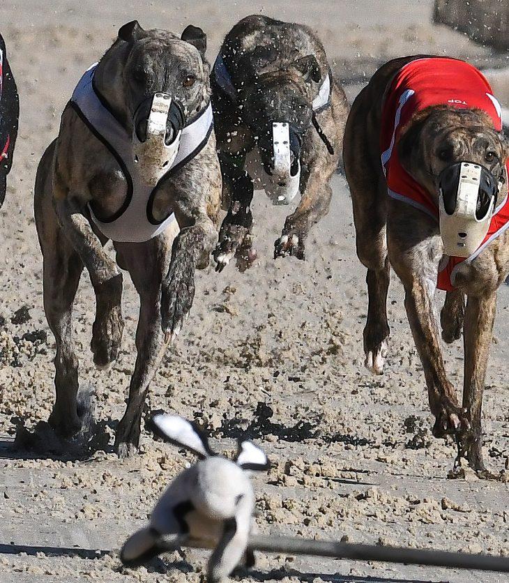 Corse greyhound